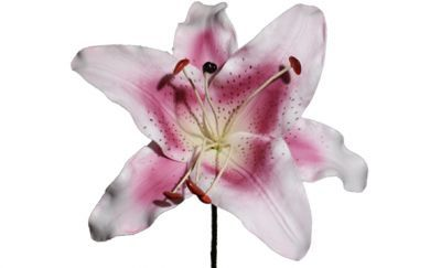 Extra Large White & Pink Lily