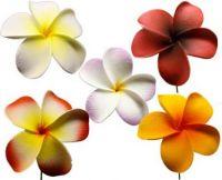 Assorted Plummeria Flowers