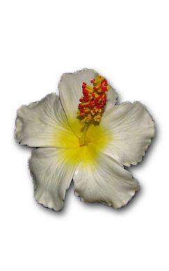 White Hibiscus with Yellow